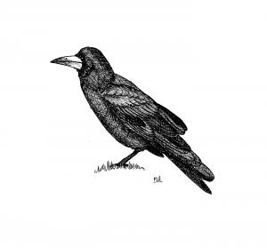 ADPAG_corbeau-freux_MB