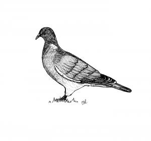 ADPAG_pigeon-ramier_MB