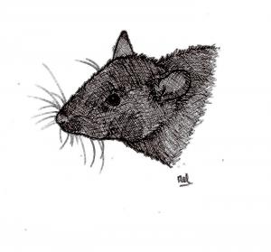 ADPAG_rat gris_MB