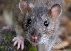 Le rat surmulot, quel statut ?