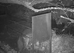 Le raton laveur, un animal très agile !